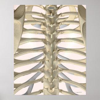 Bones of the Thoracic Vertebrae Poster