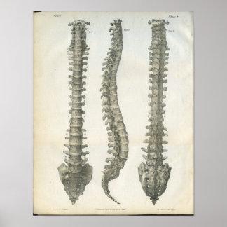 Bones of the Vertebral Column Chiropractic Poster