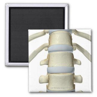 Bones of the Vertebral Column Magnet