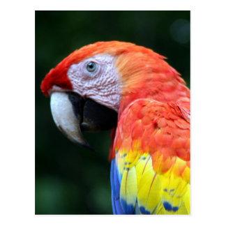 bonito del macaw del escarlata tarjeta postal