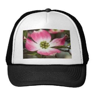 Bonito en macro rosada del flor del Dogwood Gorras
