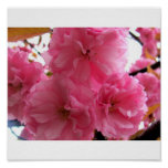 Bonito en rosa poster
