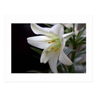 Bonito, flor blanca pura del lirio de pascua en postal