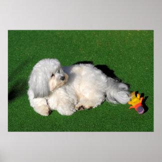 bonito, Havaneser perro blanco estando, Póster