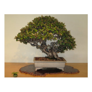 Bonsai at National Arboretum, Washington D.C. Postcard