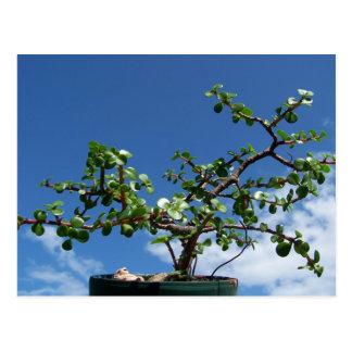 Bonsai portulacaria afra tree 2 postcard