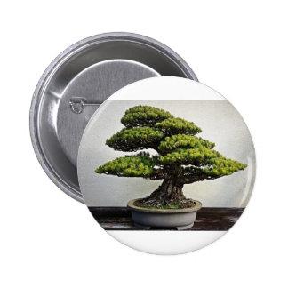 Bonsais de White Pine del japonés