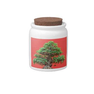Bonsais del Ficus Plato Para Caramelo