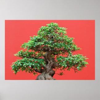 Bonsais del Ficus Impresiones