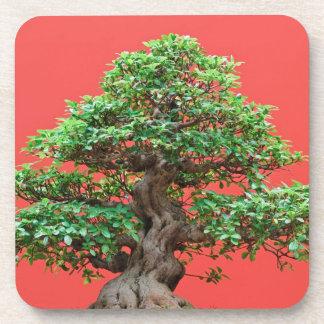 Bonsais del Ficus Posavasos De Bebidas