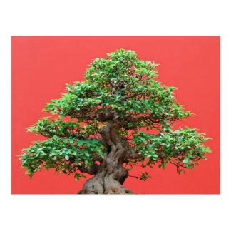 Bonsais del Ficus Postal