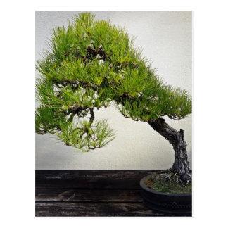 Bonsais japoneses del pino negro tarjetas postales