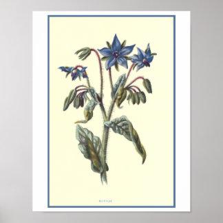"""Borage"" Botanical Illustration Poster"