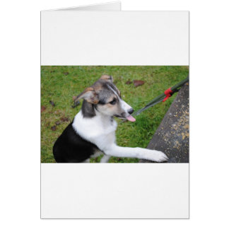 border colie greeting card
