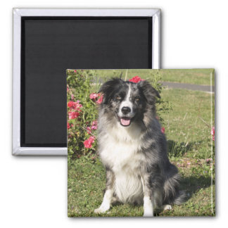 Border Collie 2 Inch Square Magnet