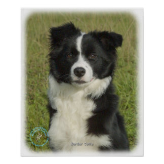 Border Collie 9B62D-18 Poster