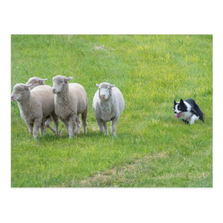 Border Collie and Ewes Postcard