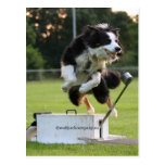 border collie at flyball postcard