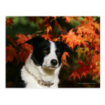 Border Collie Autumn Headshot Post Cards