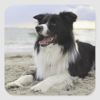 Border Collie Black And White Puppy Dog Stickers