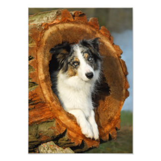 Border Collie Blue Merle Dog  - Paperprint Photo Print