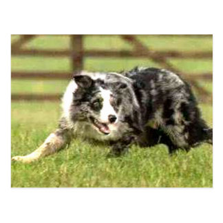 Border Collie Blue Merle Joe Postcard