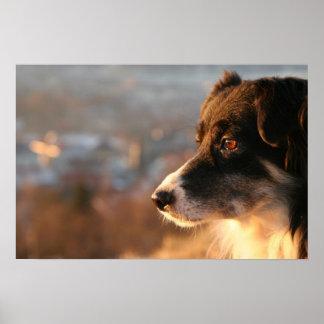 Border Collie Dog Poster