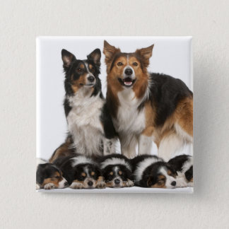 Border collie family pinback button