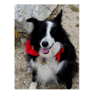 Border Collie Gifts Post Card