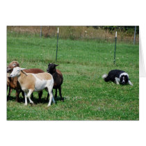 Border Collie Herding Sheep Note Card