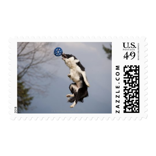 Border Collie just before catching the ball high Postage