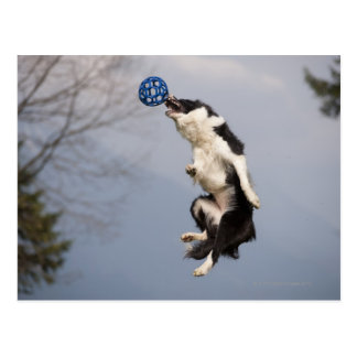 Border Collie just before catching the ball high Postcard