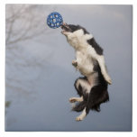 Border Collie just before catching the ball high Tile