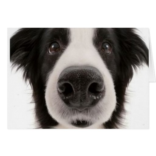 Border Collie Notecard Cards