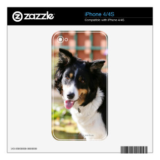Border Collie Panting 1 Skin For iPhone 4