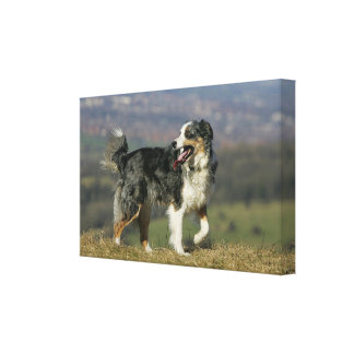 Border Collie Panting 2 Gallery Wrapped Canvas