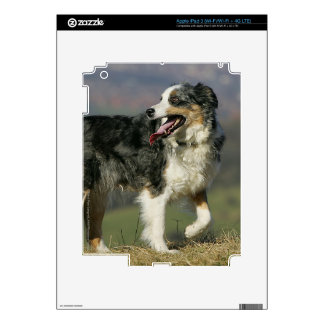 Border Collie Panting 2 iPad 3 Decals