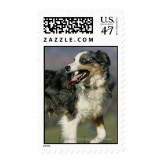 Border Collie Panting 2 Postage