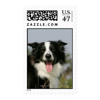Border Collie Panting Headshot 1 Postage