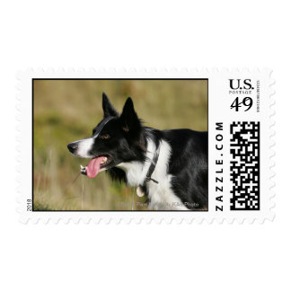 Border Collie Panting Headshot 2 Postage