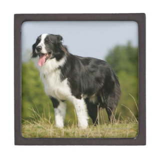 Border Collie Panting Standing Gift Box