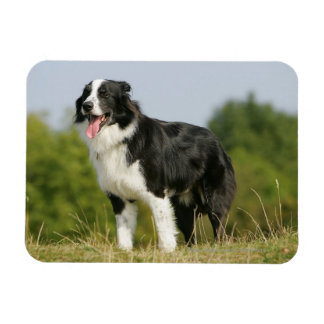 Border Collie Panting Standing Magnet