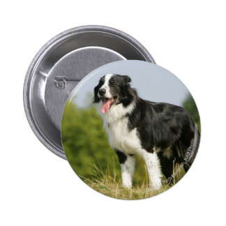 Border Collie Panting Standing Pinback Button