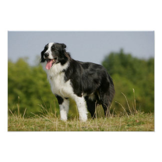 Border Collie Panting Standing Poster