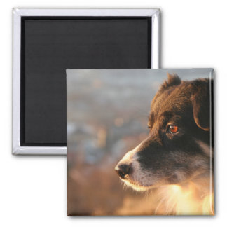Border Collie Photos Square Magnet
