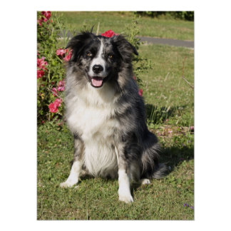 Border Collie Posters