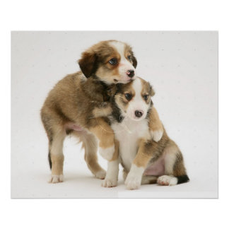 Border Collie Puppies~Sable and White Poster