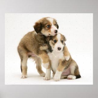 Border collie Puppies~Sable y blanco Posters
