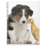 Border collie puppy (6 weeks old) playing with notebook