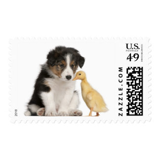 Border collie puppy (6 weeks old) playing with postage stamp